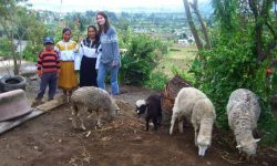 Volunteer with local kids and sheep in Ecuador